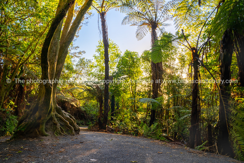 Walking track through native New Zealand bush woth large tree root ball growing over large rock