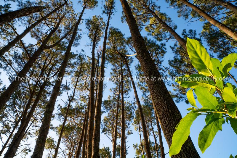 Towering high overhead plantation pine trees converge skyward.