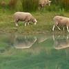 Grazing sheep by pond