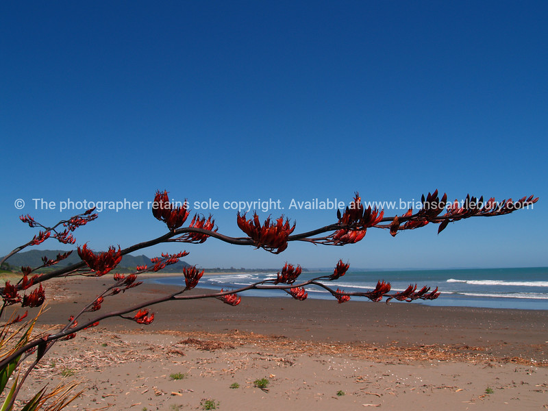 Red Flax flower against blue sky. New Zealand images.