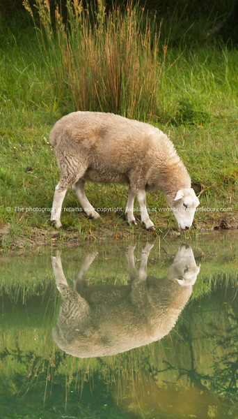 Grazing sheep by pond reflected in calm water,