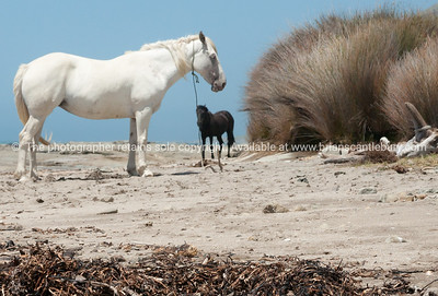 Horses on East Coast. New Zealand images.