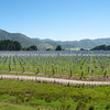New kiwifruit orchard on Highway 35, East Coast. New Zealand Images.