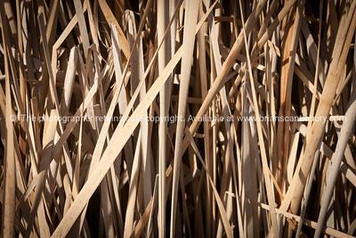 Dry bullrushes closeup Pekapeka Wetlands, Hawke's Bay, NZ