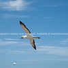 Flying in with nesting material. Gannet colony. New Zealand Image.