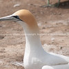 Close-up, Gannet colony. New Zealand Image.