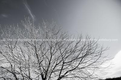 Winter tree, monochrome.