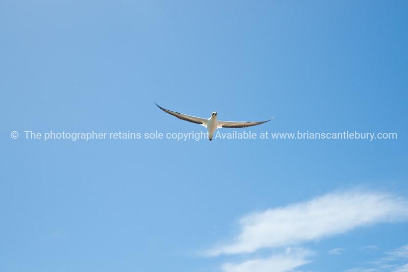 Flight, Gannet colony. New Zealand Image.