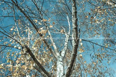 View upward into silver birch trees.