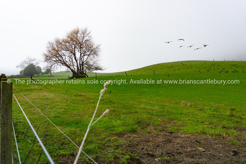 Rural landscape with leafless tree and Canada geese on land.