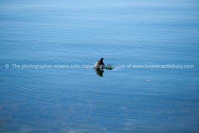 Coot diving in Lake Tarawera.