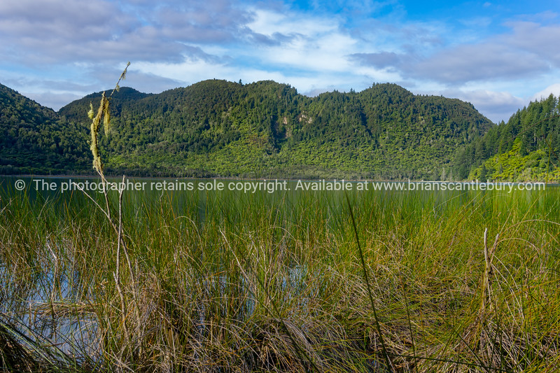 Lake view across reeds on edge to tree frerns lining other side and plantation pine trees behind.