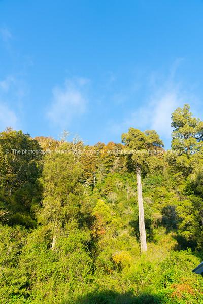 Natural New Zealand bush along West Bank of Matakitaki River
