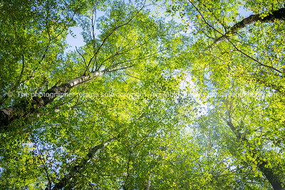 Overhead birch tree canopy of branches and lime green leaves