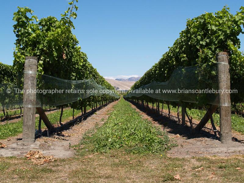 Blenheim vineyards and winery. New Zealand Image.