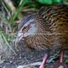 Weka. New Zealand wildlife images.