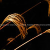 Golden grass. Seed heads catch the morning sun in a rich golden colour. New Zealand images.