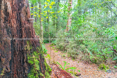 Walking track in New Zealand beech forest