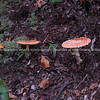 amanita muscaria, red mushroom.