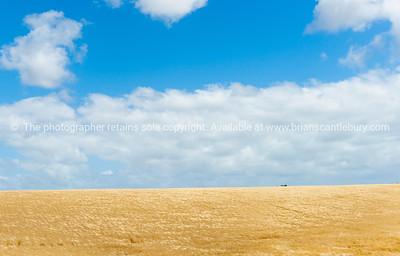 Golden barley crop Rural land Manawatu -Wanganui near Bulls