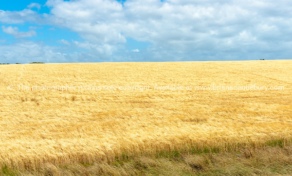 Golden barly crop growing rural land Manawatu -Wanganui near Bulls