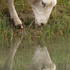 Sheep looking at reflected image in pond. Close-up. New Zealand images.