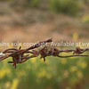 Barbed. Wire in a farm fence. New Zealand image.