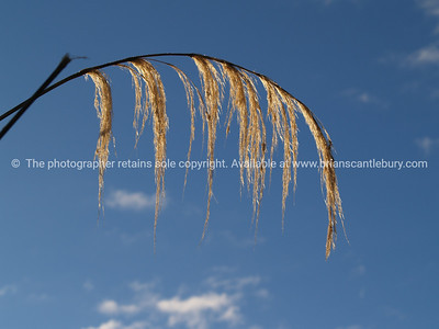 Arched toetoe seedhead. New Zealand images.