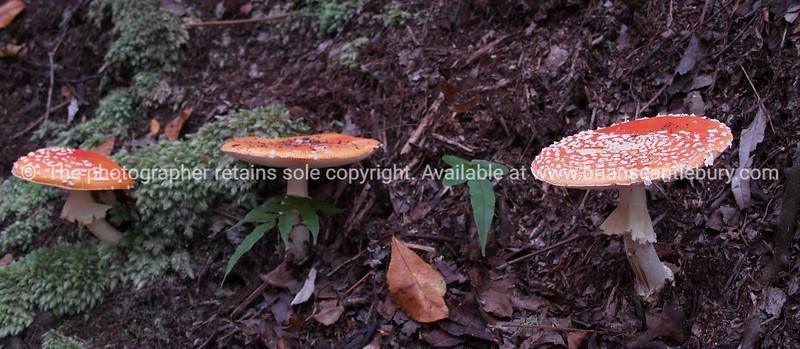 Fly agaric mushrooms.