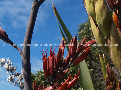 New Zealand flax flower. New Zealand images.