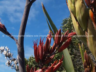 New Zealand flax flower. New Zealand images.