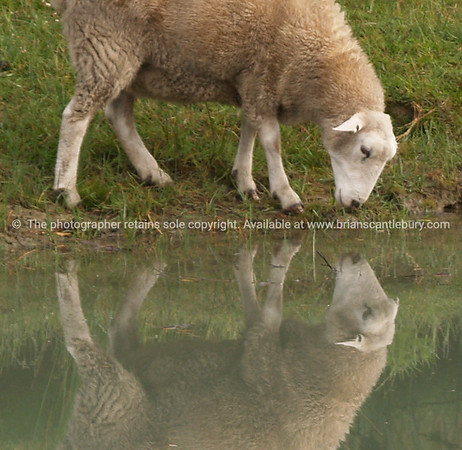 Sheep reflected in pool. New Zealand image.