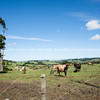 Cattle on farm, Far North, Northland.