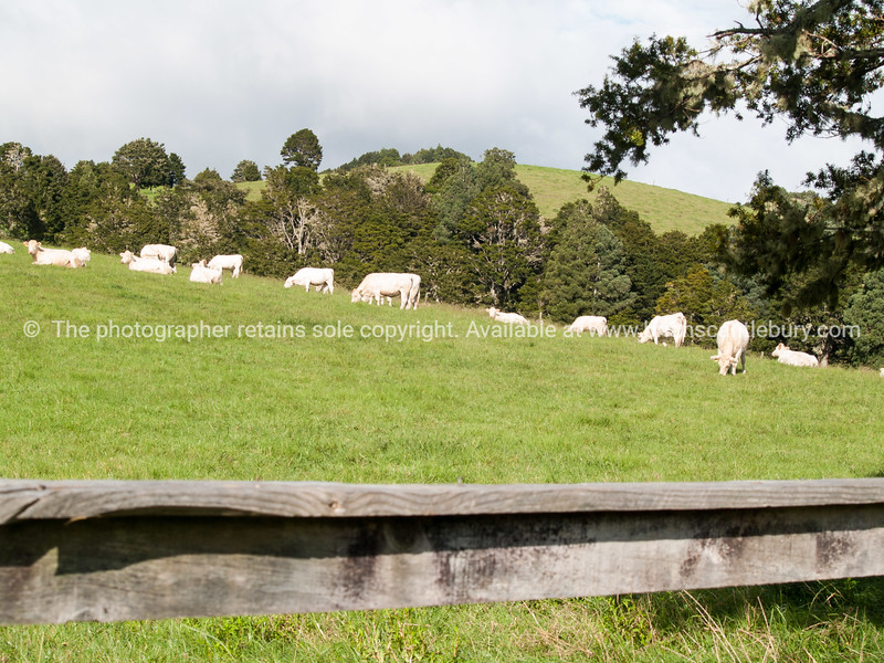 Rural scene, Northland.White cattle in green field.