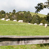 Rural scene, Northland.White cattle in green field.
