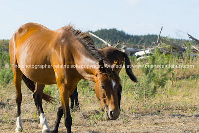 Wild horses in forestry Whalers Road  Ninety Mile Beach, Northland, New Zealand