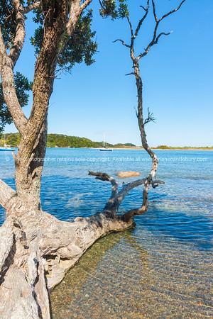Old pohutukawa tree fallen into waters edge of scenic estuary Ngunguru