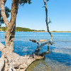Old pohutukawa tree fallen into waters edge of scenic estuary Ngunguru
