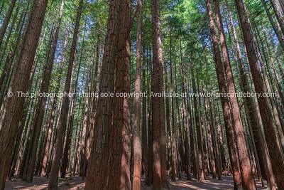 Whakarewarewa Redwood Forest
