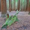 Old rotting moss covered log on forest floor of Whakarewarewa Redwood Forest