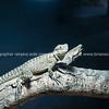 Blue tongued lizard on log.