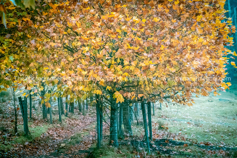 Grove of plane trees in autumn color