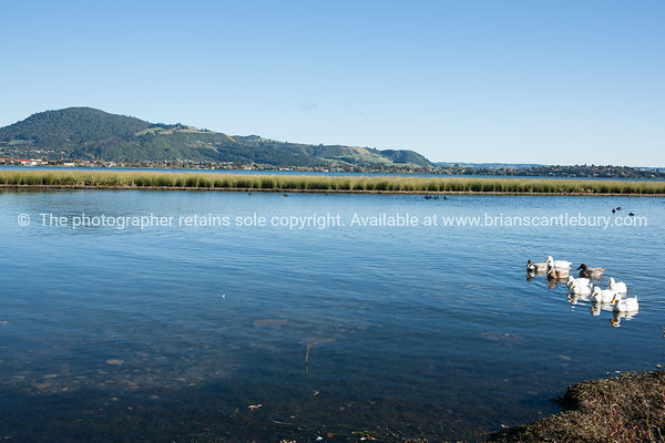 Geese on Lake Rotorua, Mokoia Island in background.
