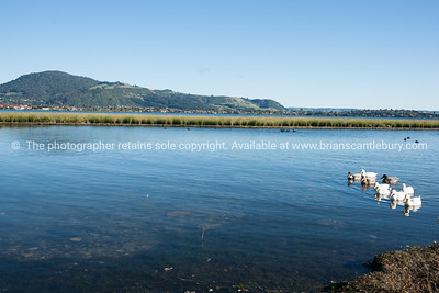 Geese on Lake Rotorua, Mokoia Island in background.