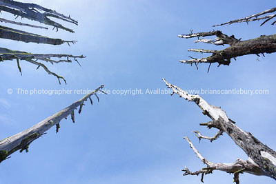 Dead trees converge  pointing  skyward