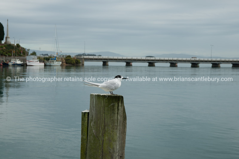 White front tern