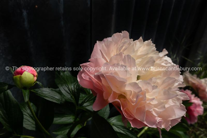 Pink peony bloom