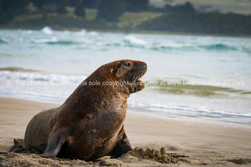 NZ Fur Seals sunning themselves on Catlins beach.