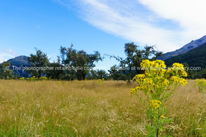 Golden grass, scrubby bushes and yellow ragwort flowers surrounded by Southern Alps.