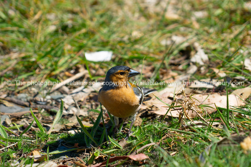 Colourful male chaffinch on ground